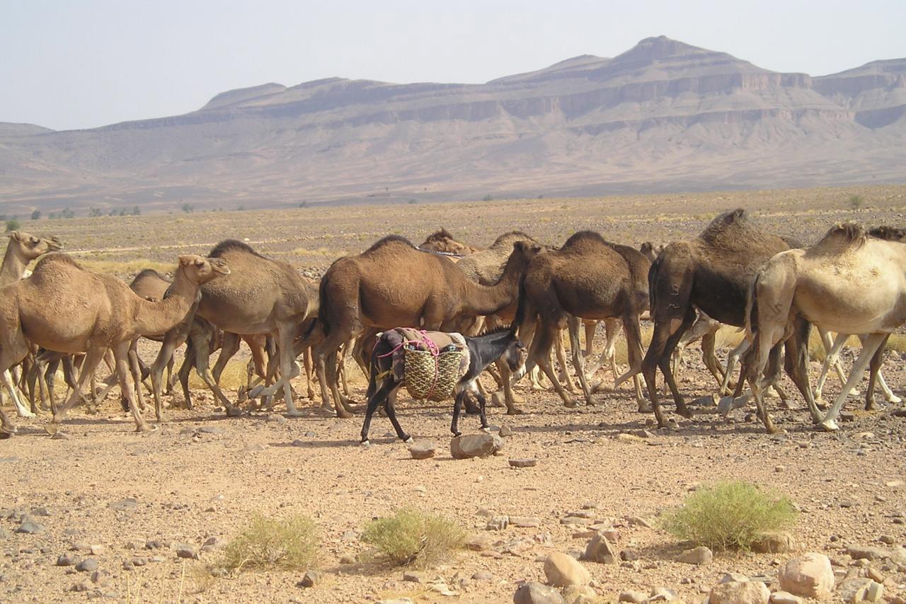 Camellos Y Dromedários