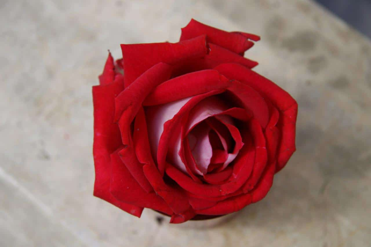 Rosa En Marruecos