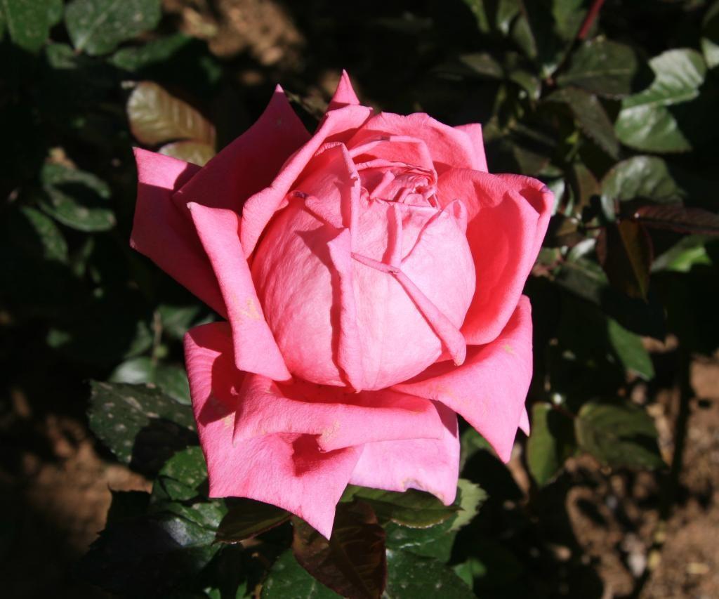 Rosa En Jardín De Una Kasbah De Marruecos