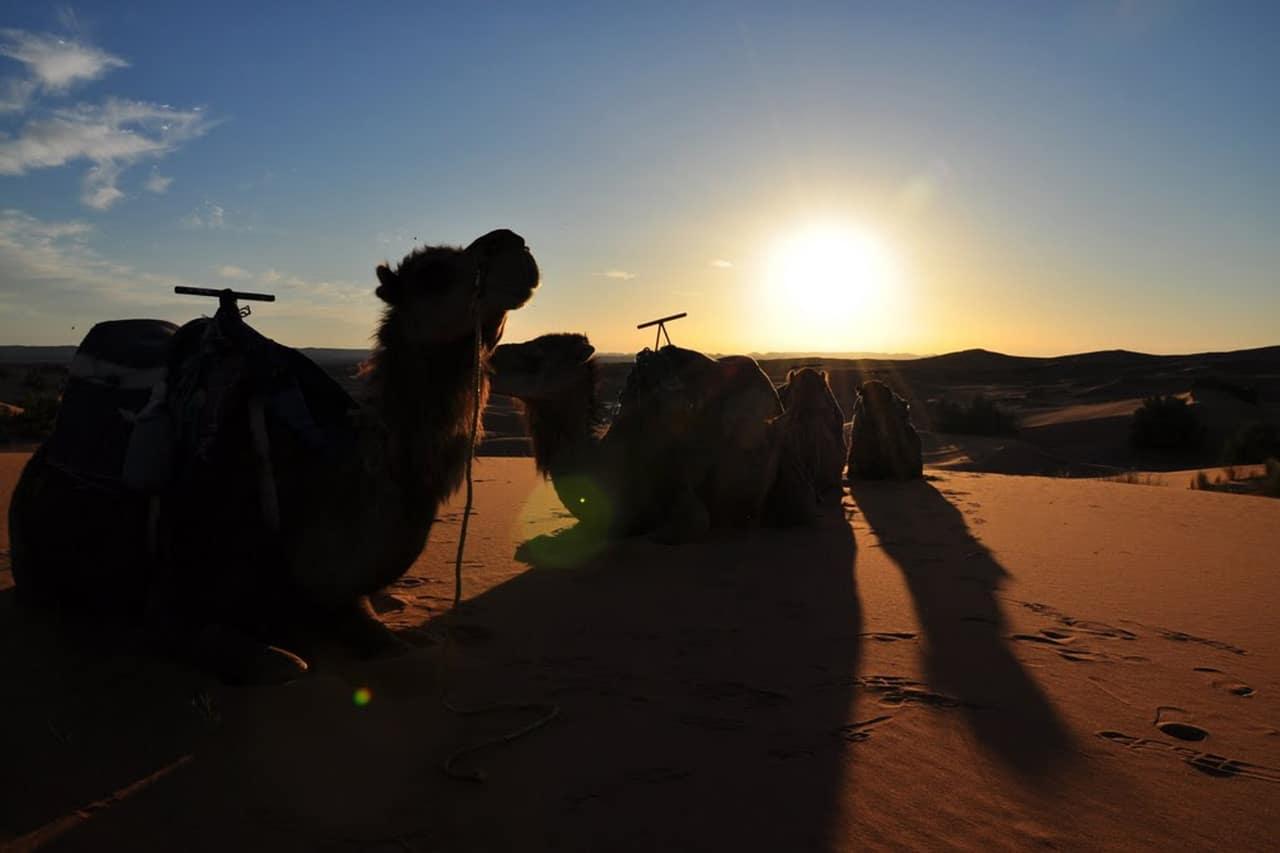 Camellos En Las Dunas De Marruecos