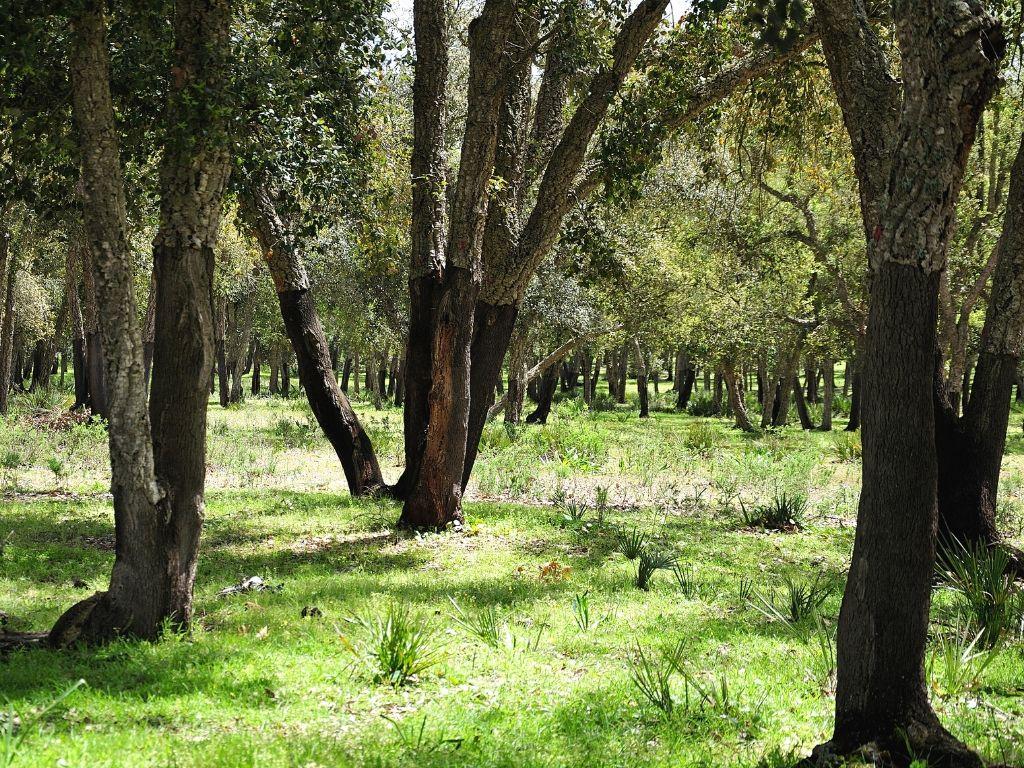 Bosque de Alcornoques de Mamora Marruecos