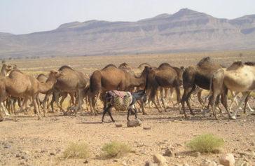 Dromedários en el Desierto de Marruecos
