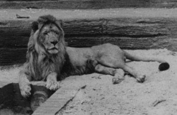 El león del Atlas en Marruecos