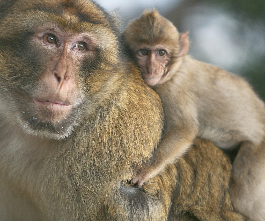 Monos En Marruecos